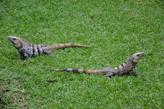 Iguana, gady, natura, zwrotniki, Karaiby, Yuca Fotografia Stock