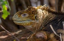 Iguana Galápagos #1 Imagens de Stock Royalty Free