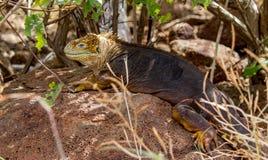 Iguana Galápagos #2 Imagens de Stock