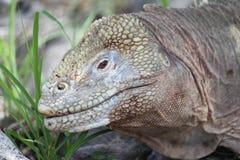 Iguana in the Galapagos Stock Image