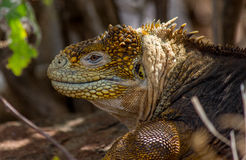 Iguana Galapagos #1 Immagini Stock Libere da Diritti