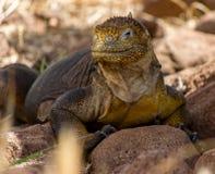 Iguana Galapagos #3 Immagine Stock Libera da Diritti