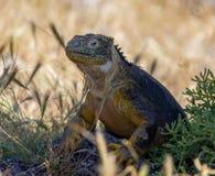 Iguana Galapagos #4 Fotografia Stock Libera da Diritti