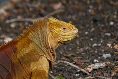 Iguana at the Galapagos Islands Royalty Free Stock Images
