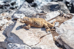 Iguana of the Galapagos perched on rocks royalty free stock images