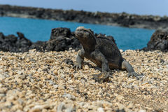 Iguana in the Galapagos Stock Image