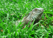 Iguana in garden Royalty Free Stock Photos