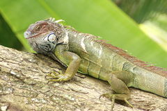 Iguana Gaze Stock Image