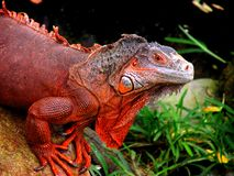 Face of the red iguana. Iguana is a genus of herbivorous lizards stock photos