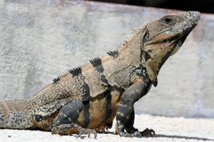 Iguana. Is a genus of herbivorous lizards native to tropical areas of Mexico, Central America, several islands in Polynesia such as Fiji and Tonga, and the royalty free stock images