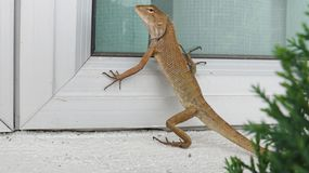 Iguana. Is a genus of herbivorous lizards that are native to tropical areas of Mexico, Central America, South America, and the Caribbean. The genus was first Stock Image
