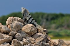 The iguana getting sun-bath Royalty Free Stock Photography