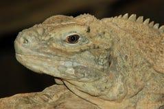 Iguana giamaicana Immagine Stock Libera da Diritti