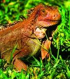 Iguana gigante Costa Rica Fotografía de archivo libre de regalías
