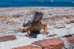 A iguana gigante está sentando-se em paredes velhas da cidade em Porto Rico Imagem de Stock Royalty Free