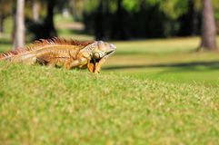 Iguana on golf course Royalty Free Stock Image