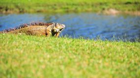 Iguana on golf course by water Stock Images