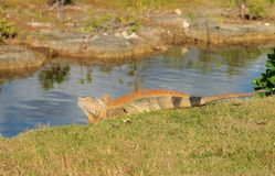Iguana Grand Cayman Royalty Free Stock Images