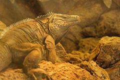 Iguana. A Grand Cayman rock iguana walking around the rocks in the dusty air Royalty Free Stock Photography