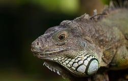 Iguana grande Imagem de Stock