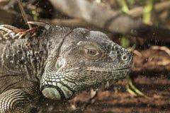 Iguana grande adulta Fotografía de archivo