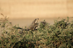 Iguana in the grass Royalty Free Stock Photos