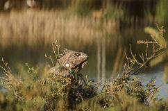 Iguana in the grass Royalty Free Stock Photo