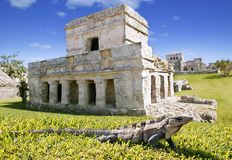 Iguana on grass in Tulum mayan ruins. In Mexico Quintana Roo Stock Photos