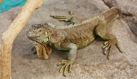 Iguana on a gray stone Royalty Free Stock Images