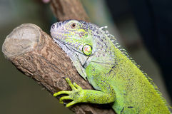 Iguana green Stock Photography