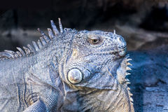 Iguana. Green iguana beautiful reptile looking stock photography