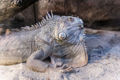 Iguana. Green iguana beautiful reptile looking royalty free stock photography