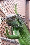 Iguana or green iguana in a cage Royalty Free Stock Images