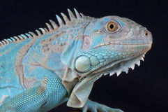 Iguana. The green Iguana is currently being bred in a few different colors. The blue Iguana must be one of the most spectacular lizards in the world Stock Images
