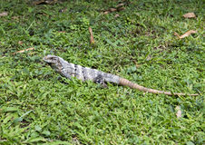 Iguana in green grass. Pictured is an iguana in green grass in Chichen Itza, Mexico Royalty Free Stock Images