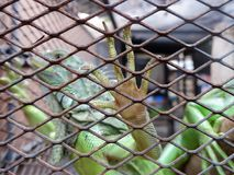 Iguana or green iguana in a cage Royalty Free Stock Image