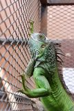 Iguana or green iguana in a cage Stock Image