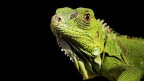 Free Iguana Green Isolated Black Background Royalty Free Stock Photos - 158400578