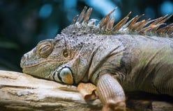 Iguana. Green iguana in the jungle Stock Photo