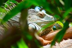 Iguana Royalty Free Stock Photos