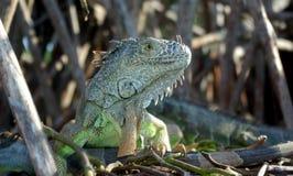 Iguana 2 Royalty Free Stock Image