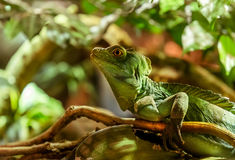Iguana Green Stock Image