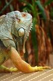 Iguana green Stock Photos