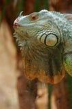 Iguana green profile Royalty Free Stock Images
