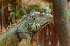 Iguana green profile 2 Royalty Free Stock Image