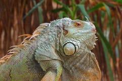 Iguana green profile 3 Royalty Free Stock Photos
