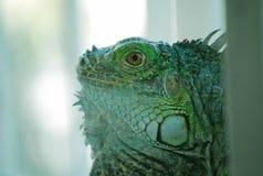 Iguana. Green Iguana sneaking through the railings Stock Images