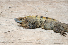 Iguana of green and yellow color on stone pavement Royalty Free Stock Photo