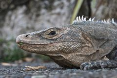 Iguana - Grey on gray Royalty Free Stock Photo
