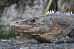Iguana - Grey su gray Fotografia Stock Libera da Diritti